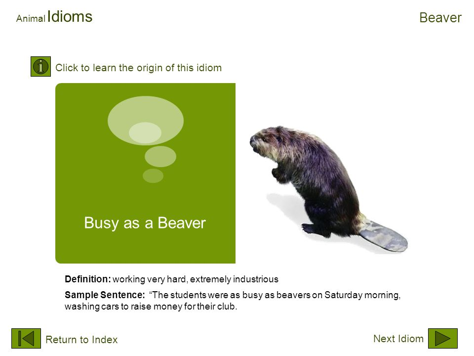 "Busy as a Beaver Animal Idioms Definition: working very hard, extremely industrious Sample Sentence: ""The students were as busy as beavers on Saturday"