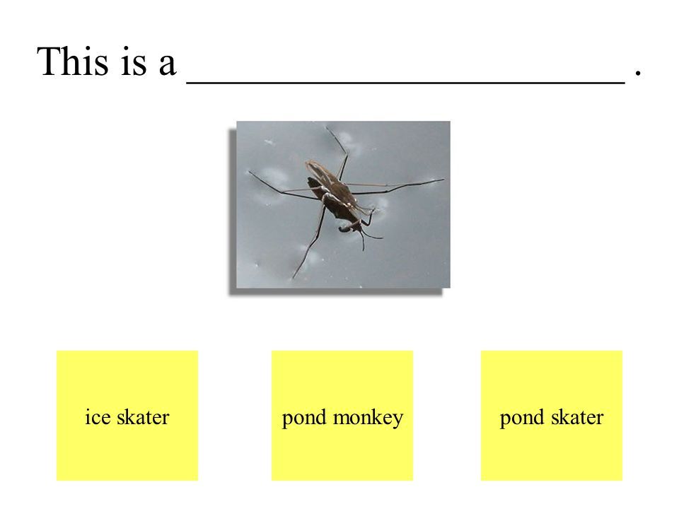 A pond skater lives on the pond. It hops on the water.