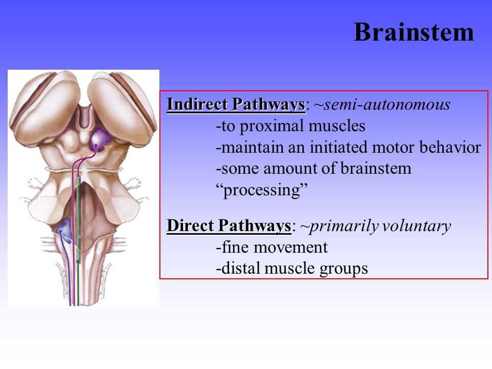 Brainstem Indirect Pathways Indirect Pathways: ~semi-autonomous -to proximal muscles -maintain an initiated motor behavior -some amount of brainstem processing Direct Pathways Direct Pathways: ~primarily voluntary -fine movement -distal muscle groups