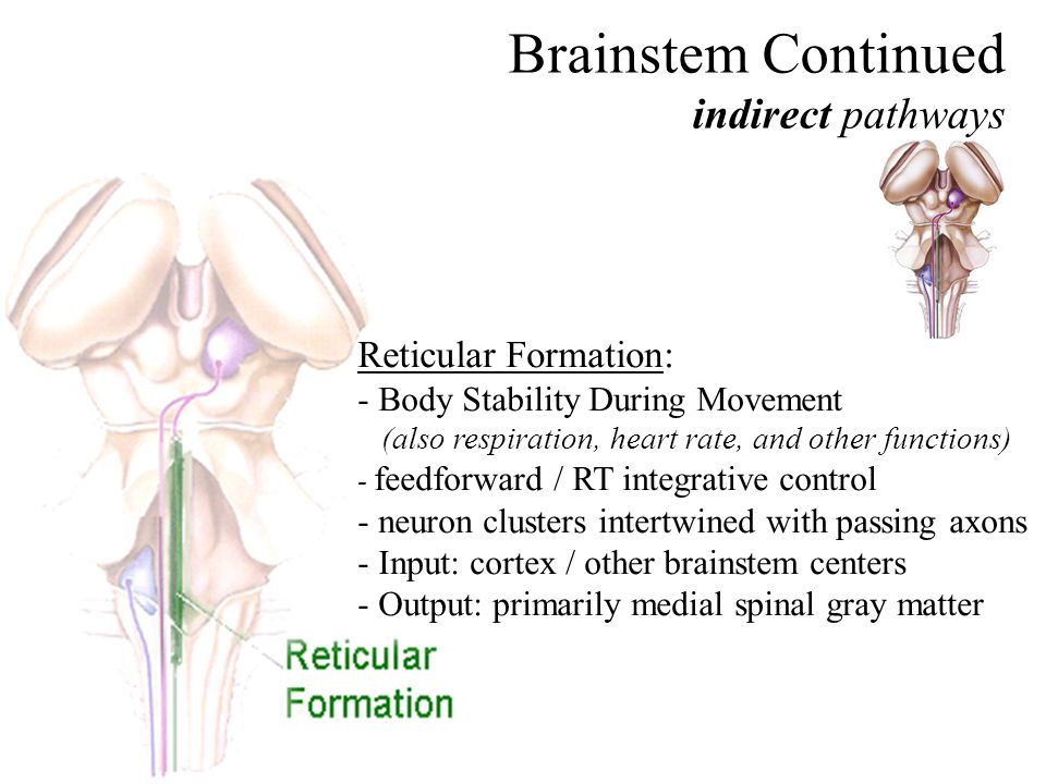 Brainstem Continued indirect pathways Reticular Formation: - Body Stability During Movement (also respiration, heart rate, and other functions) - feedforward / RT integrative control - neuron clusters intertwined with passing axons - Input: cortex / other brainstem centers - Output: primarily medial spinal gray matter
