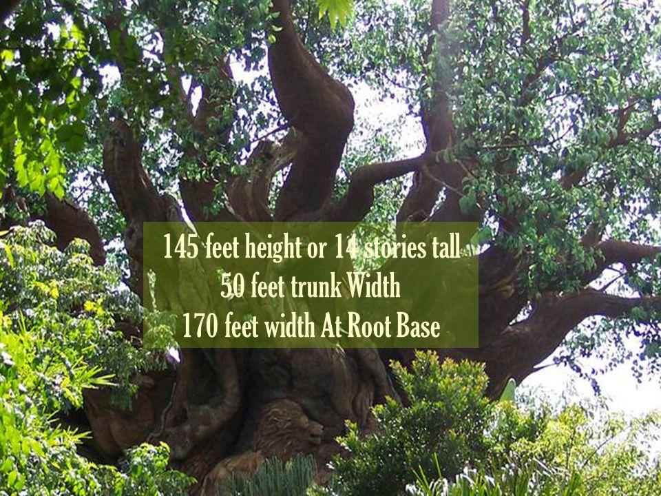 145 feet height or 14 stories tall 50 feet trunk Width 170 feet width At Root Base