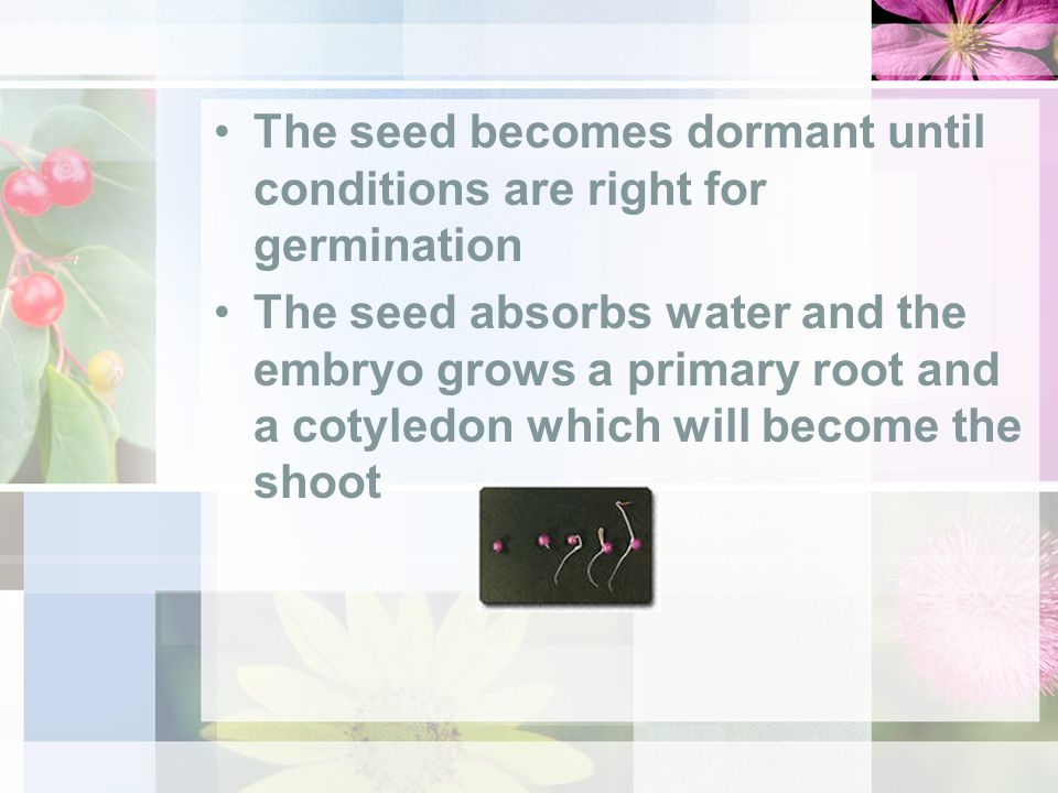 The seed becomes dormant until conditions are right for germination The seed absorbs water and the embryo grows a primary root and a cotyledon which will become the shoot