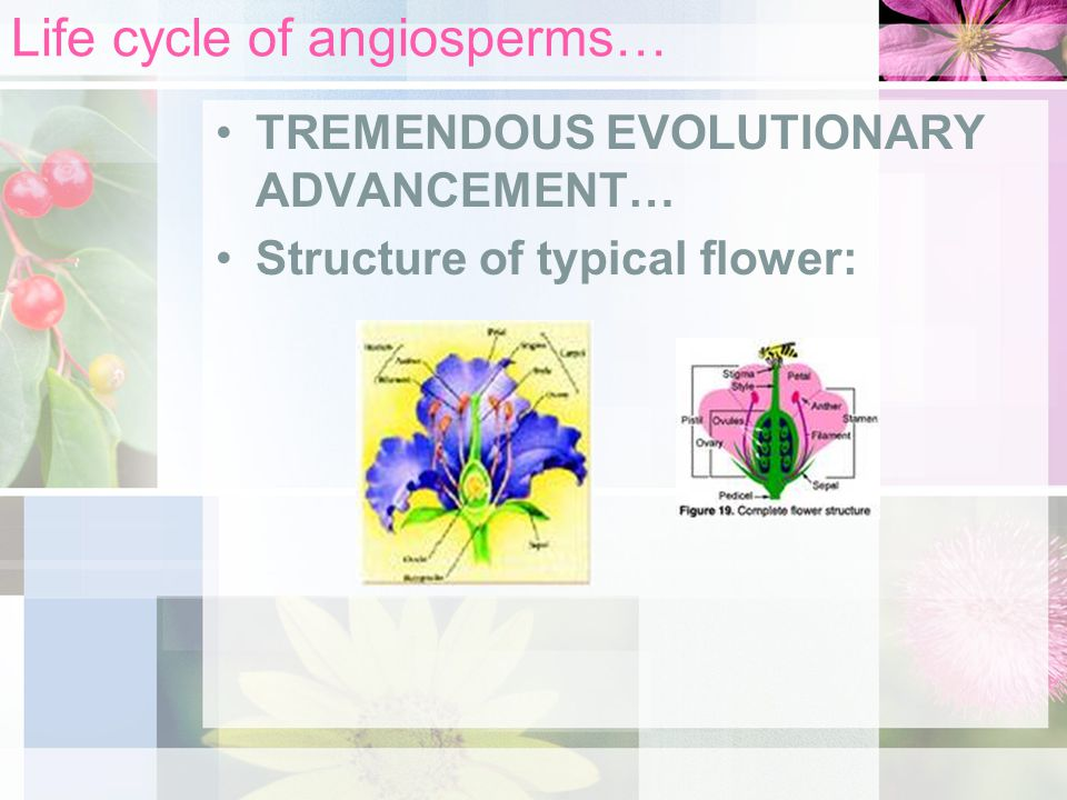 Life cycle of angiosperms… TREMENDOUS EVOLUTIONARY ADVANCEMENT… Structure of typical flower: