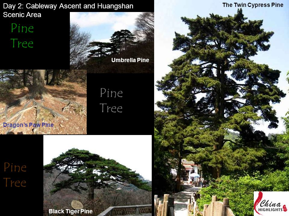 Black Tiger Pine Dragon's Paw Pine Umbrella Pine The Twin Cypress Pine Pine Tree