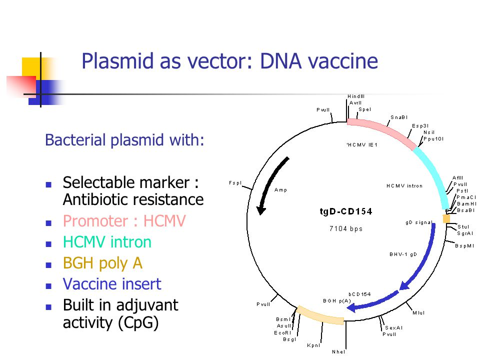 Plasmid as vector: DNA vaccine Bacterial plasmid with: Selectable marker : Antibiotic resistance Promoter : HCMV HCMV intron BGH poly A Vaccine insert Built in adjuvant activity (CpG)