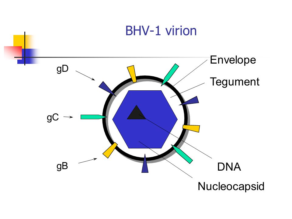 BHV-1 virion gD gC gB Envelope Tegument DNA Nucleocapsid