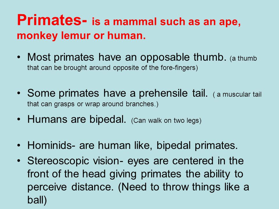 Primates- is a mammal such as an ape, monkey lemur or human. Most primates have an opposable thumb. (a thumb that can be brought around opposite of th