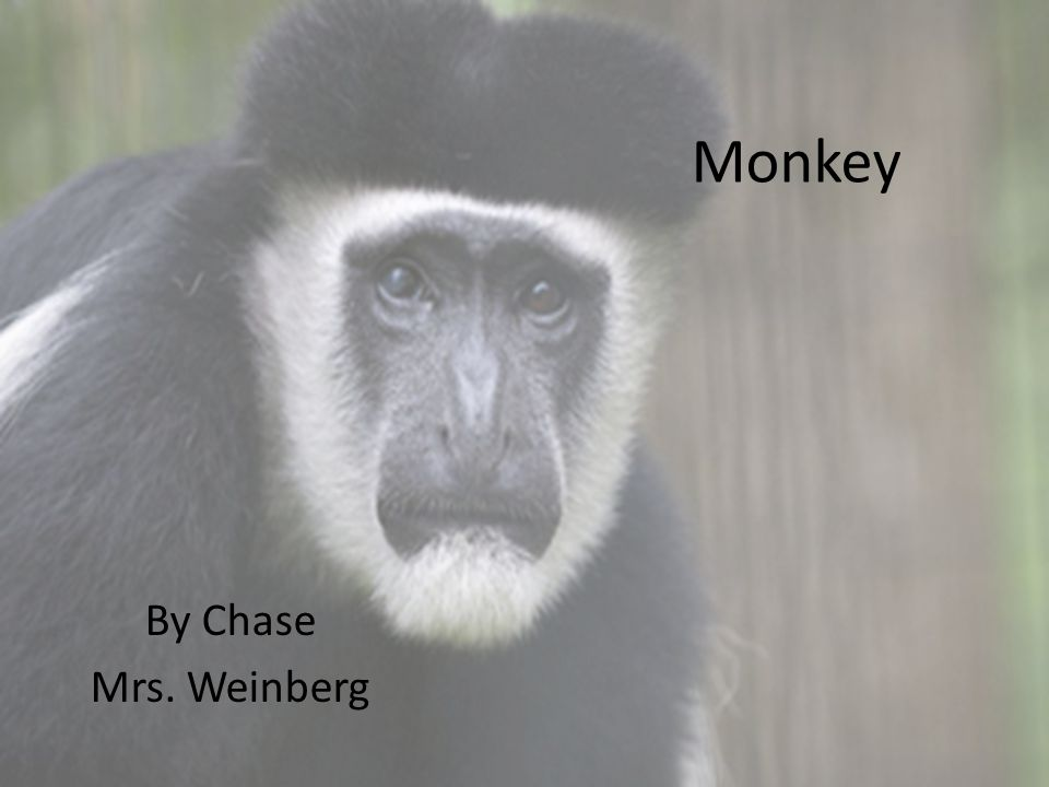 Monkey By Chase Mrs. Weinberg