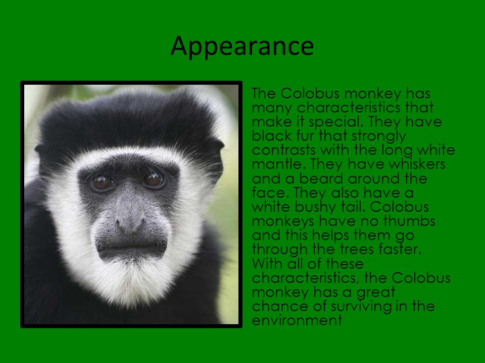 Appearance The Colobus monkey has many characteristics that make it special. They have black fur that strongly contrasts with the long white mantle. T