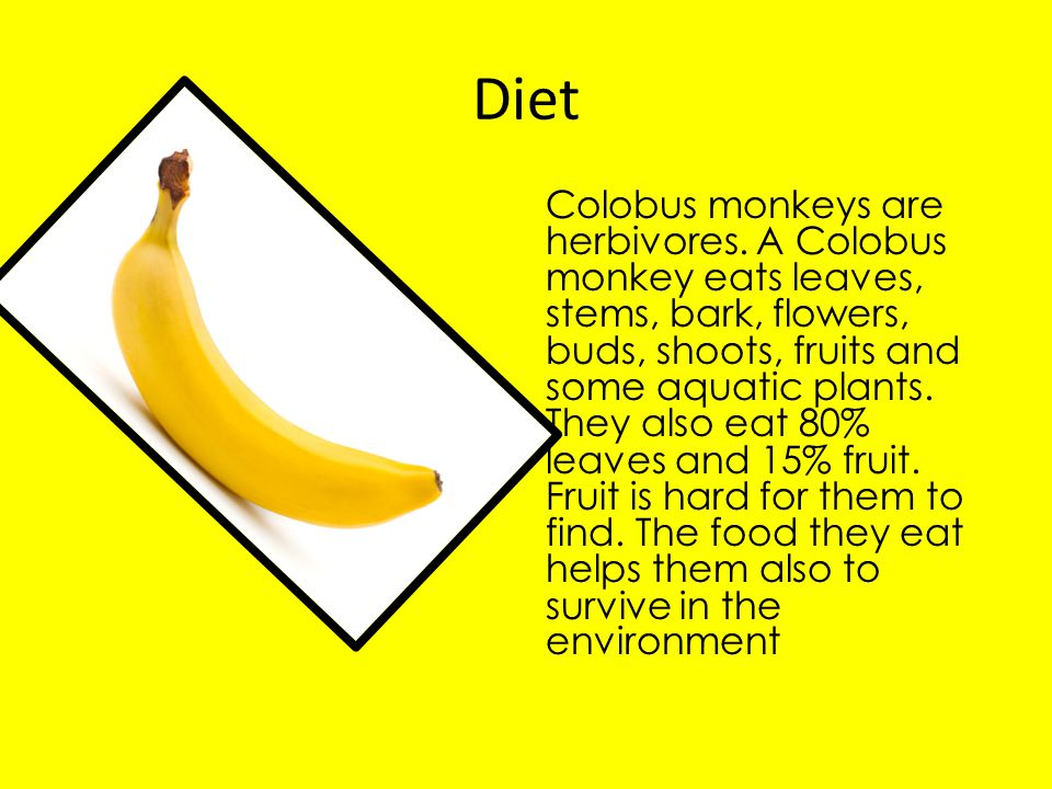 Diet Colobus monkeys are herbivores. A Colobus monkey eats leaves, stems, bark, flowers, buds, shoots, fruits and some aquatic plants. They also eat 8