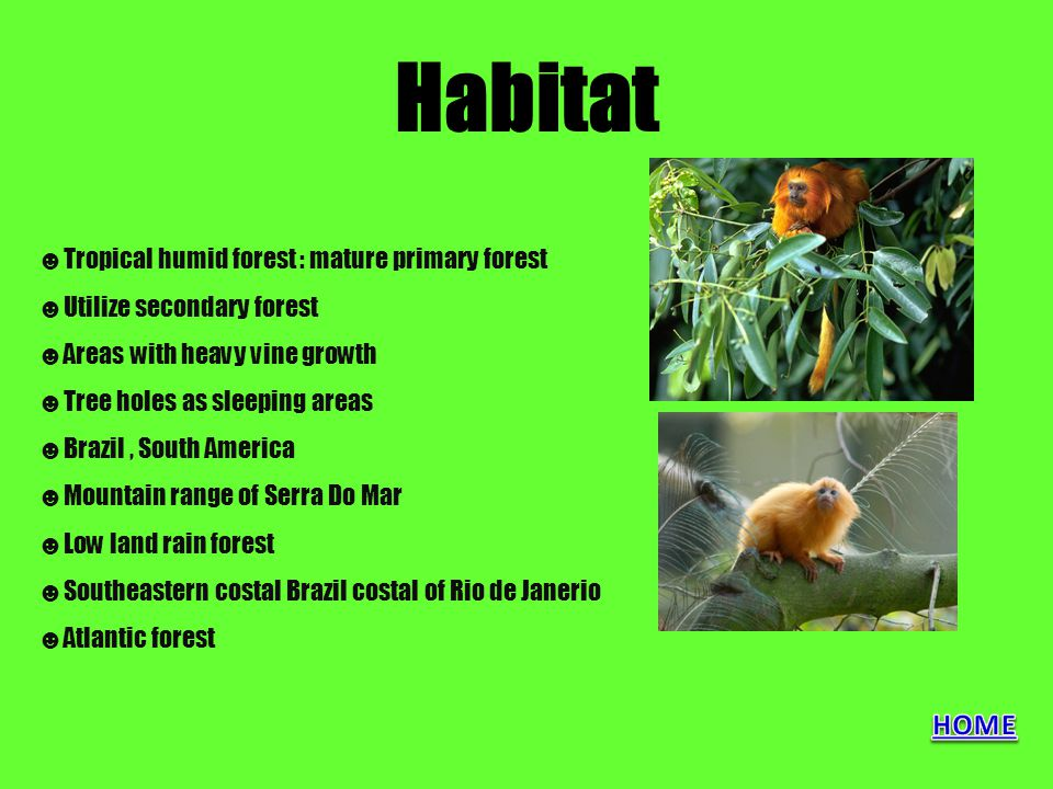Habitat ☻Tropical humid forest : mature primary forest ☻Utilize secondary forest ☻Areas with heavy vine growth ☻Tree holes as sleeping areas ☻Brazil,