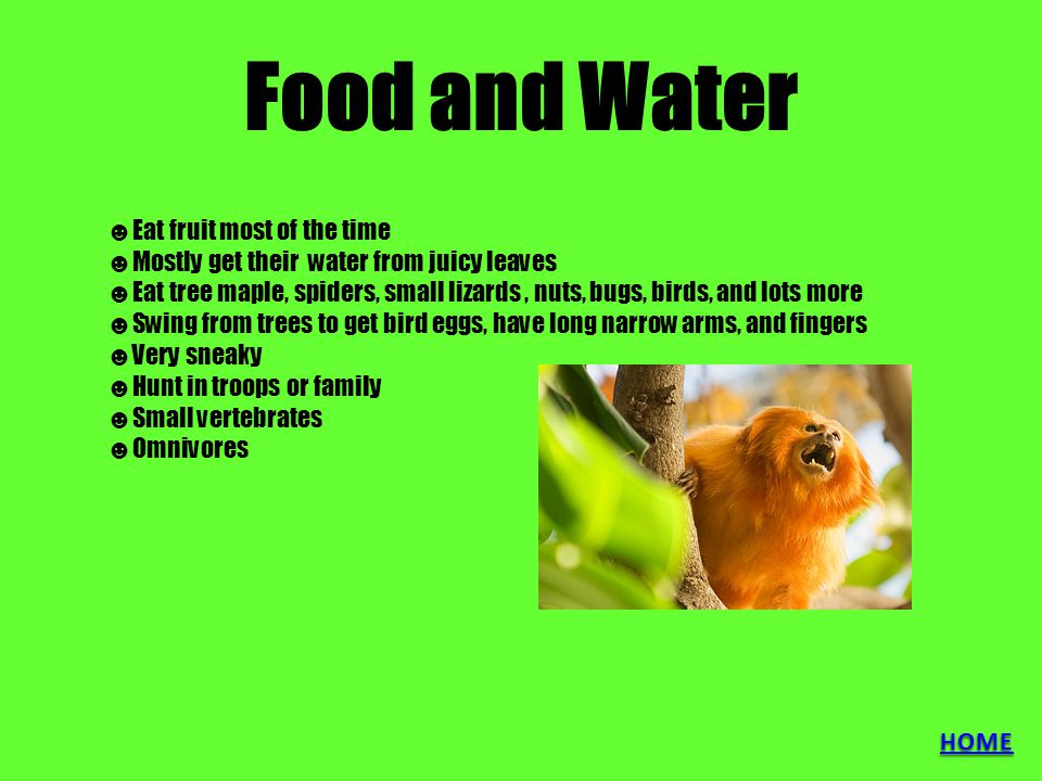 Food and Water ☻Eat fruit most of the time ☻Mostly get their water from juicy leaves ☻Eat tree maple, spiders, small lizards, nuts, bugs, birds, and lots more ☻Swing from trees to get bird eggs, have long narrow arms, and fingers ☻Very sneaky ☻Hunt in troops or family ☻Small vertebrates ☻Omnivores