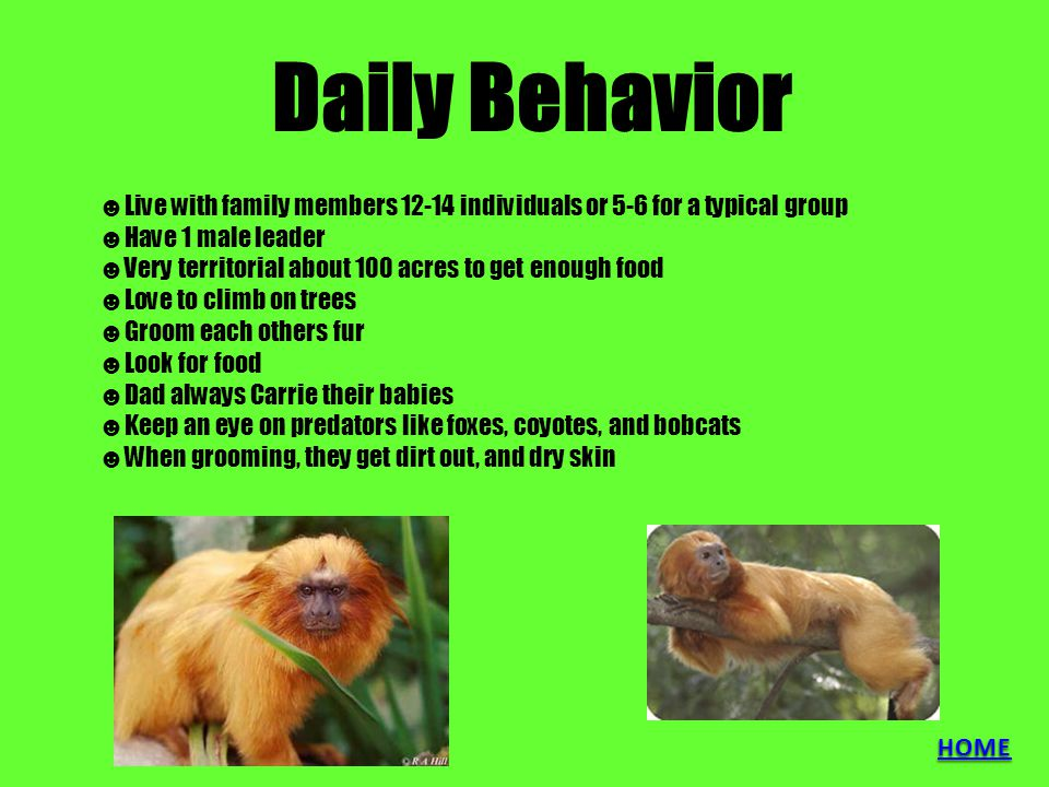 Daily Behavior ☻Live with family members 12-14 individuals or 5-6 for a typical group ☻Have 1 male leader ☻Very territorial about 100 acres to get enough food ☻Love to climb on trees ☻Groom each others fur ☻Look for food ☻Dad always Carrie their babies ☻Keep an eye on predators like foxes, coyotes, and bobcats ☻When grooming, they get dirt out, and dry skin