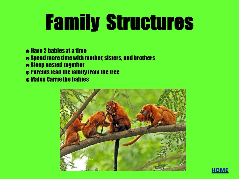 Family Structures ☻H☻Have 2 babies at a time ☻S☻Spend more time with mother, sisters, and brothers ☻S☻Sleep nested together ☻P☻Parents lead the family from the tree ☻M☻Males Carrie the babies