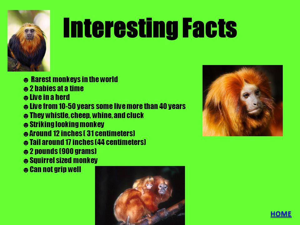 Interesting Facts ☻ Rarest monkeys in the world ☻2 babies at a time ☻Live in a herd ☻Live from 10-50 years some live more than 40 years ☻They whistle,
