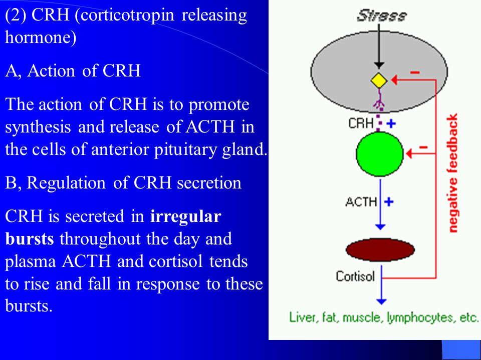 ACTH causes formation of adrenocortical hormones by increasing cAMP as a second messenger and activates steps for controlling adrenocortical secretion