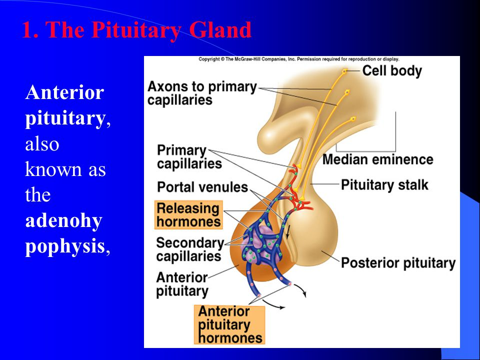 Location of the Pituitary