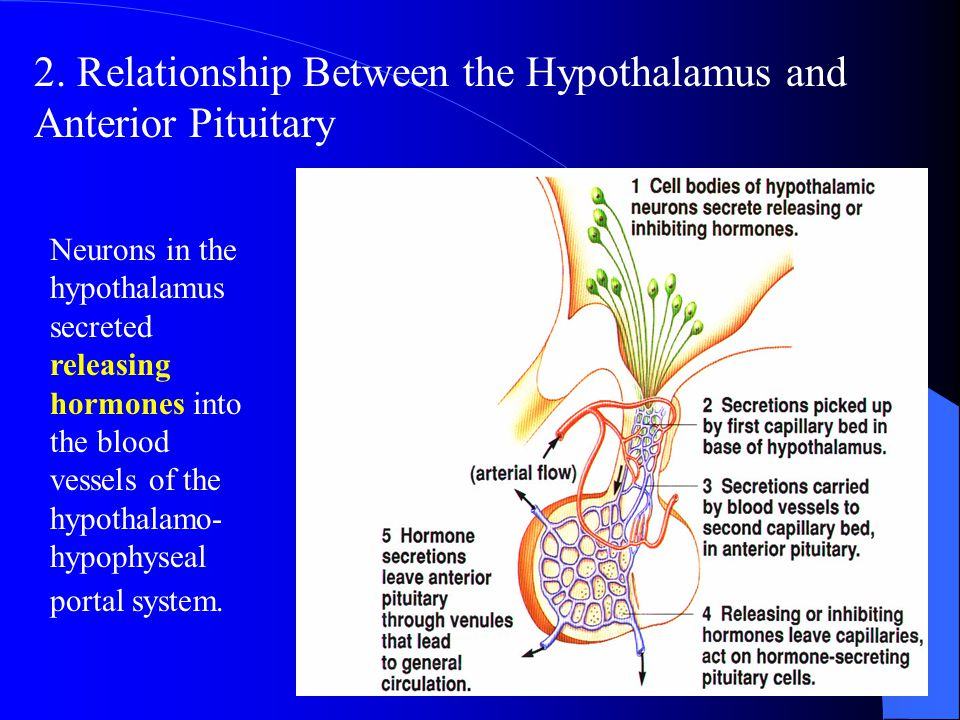 The posterior pituitary, also known as the neurohypophysis. Two important peptide hormones that secreted by the posterior pituitary, ADH (or vasopress