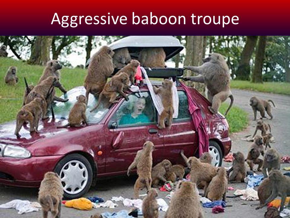 Aggressive baboon troupe