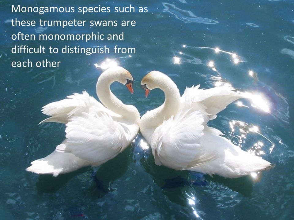 Monogamous species such as these trumpeter swans are often monomorphic and difficult to distinguish from each other