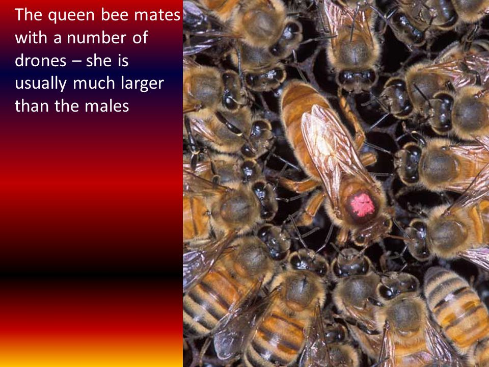 The queen bee mates with a number of drones – she is usually much larger than the males