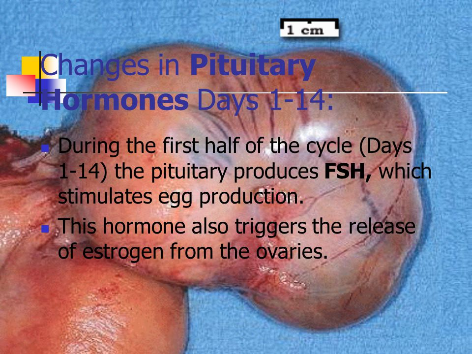 Changes in Pituitary Hormones Days 14-28: On the 14th day the pituitary begins releasing LH causing ovulation LH also directs the production of progesterone which maintains the growth of the endometrium.