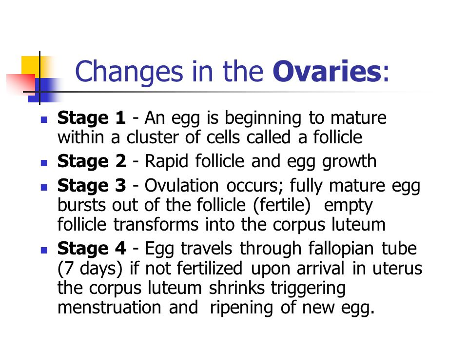 Changes in the Ovaries: Stage 1 - An egg is beginning to mature within a cluster of cells called a follicle Stage 2 - Rapid follicle and egg growth Stage 3 - Ovulation occurs; fully mature egg bursts out of the follicle (fertile) empty follicle transforms into the corpus luteum Stage 4 - Egg travels through fallopian tube (7 days) if not fertilized upon arrival in uterus the corpus luteum shrinks triggering menstruation and ripening of new egg.