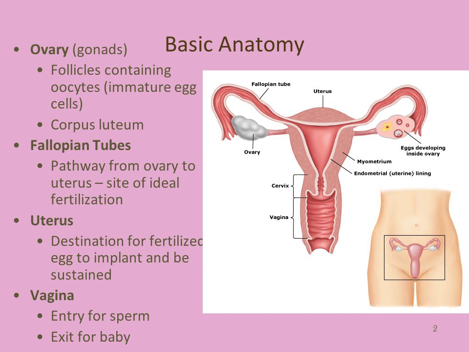 2 Basic Anatomy Ovary (gonads) Follicles containing oocytes (immature egg cells) Corpus luteum Fallopian Tubes Pathway from ovary to uterus – site of