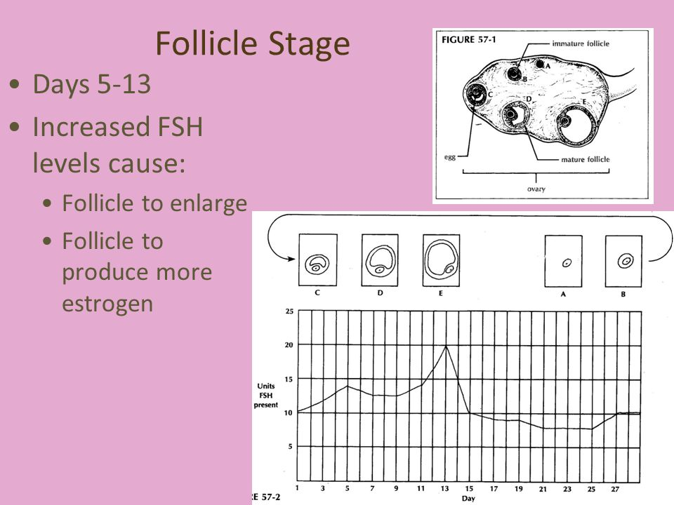 Follicle Stage Days 5-13 Increased FSH levels cause: Follicle to enlarge Follicle to produce more estrogen 6