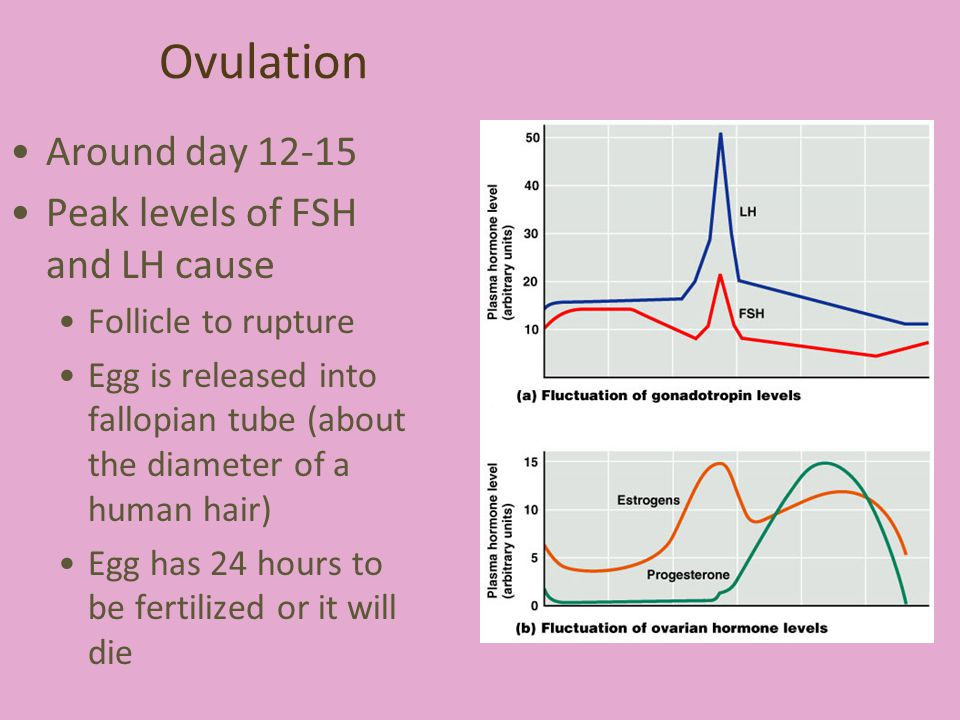 Ovulation Around day 12-15 Peak levels of FSH and LH cause Follicle to rupture Egg is released into fallopian tube (about the diameter of a human hair