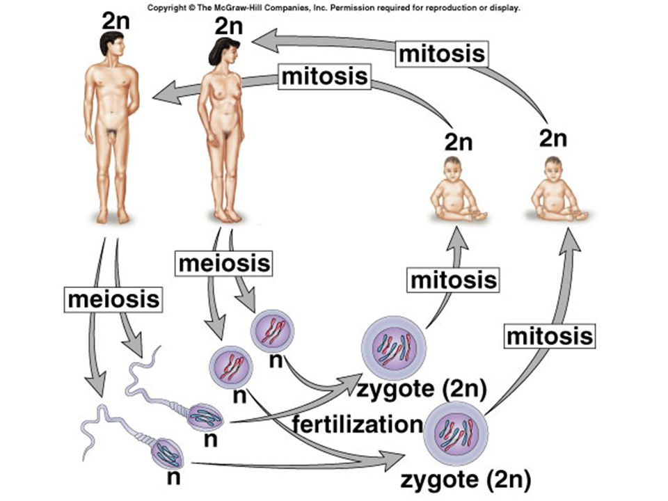 Meiosis – Telophase I Chromosomes have arrive at opposite poles New nuclear envelope reforms 2 new cells are NOT identical and are still diploid