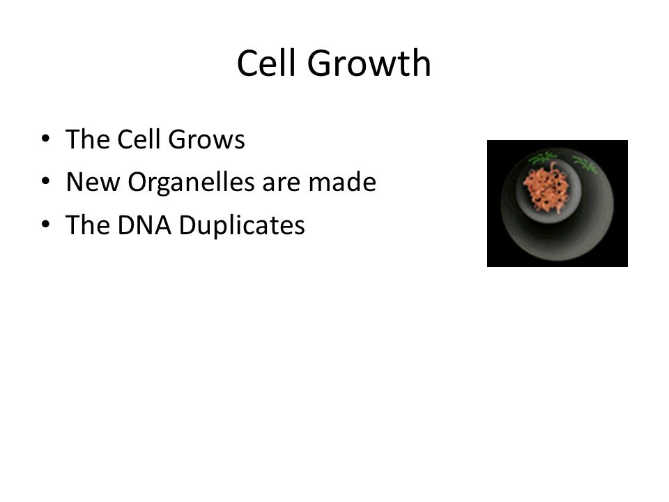 Cell Growth The Cell Grows New Organelles are made The DNA Duplicates