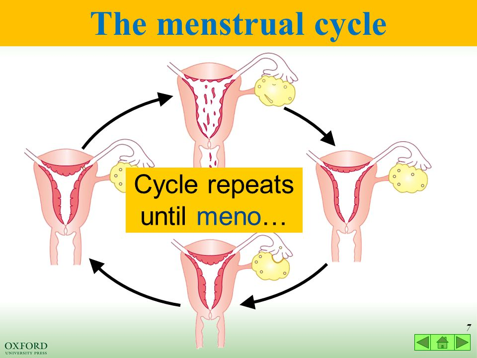 27 4.1 Hormonal control of the menstrual cycle Let's look at the menstrual cycle from day 5.