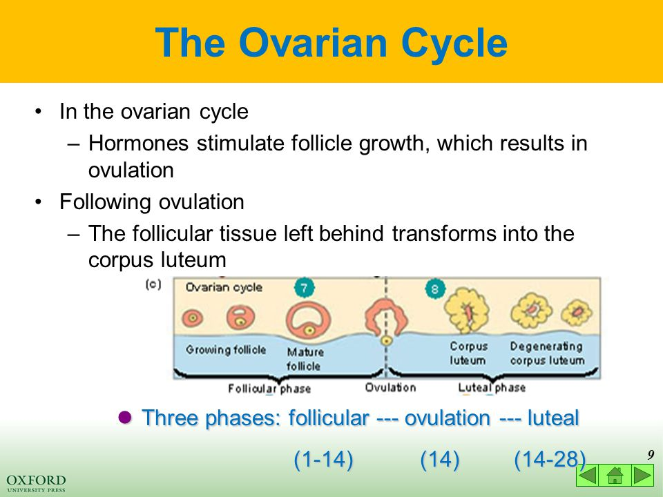 9 The Ovarian Cycle In the ovarian cycle –Hormones stimulate follicle growth, which results in ovulation Following ovulation –The follicular tissue left behind transforms into the corpus luteum Three phases: follicular --- ovulation --- luteal Three phases: follicular --- ovulation --- luteal (1-14) (14) (14-28) (1-14) (14) (14-28)
