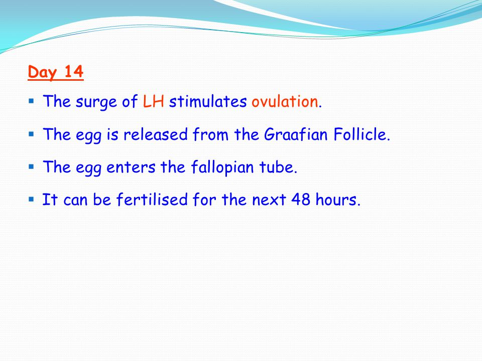 Day 14  The surge of LH stimulates ovulation.  The egg is released from the Graafian Follicle.  The egg enters the fallopian tube.  It can be fert