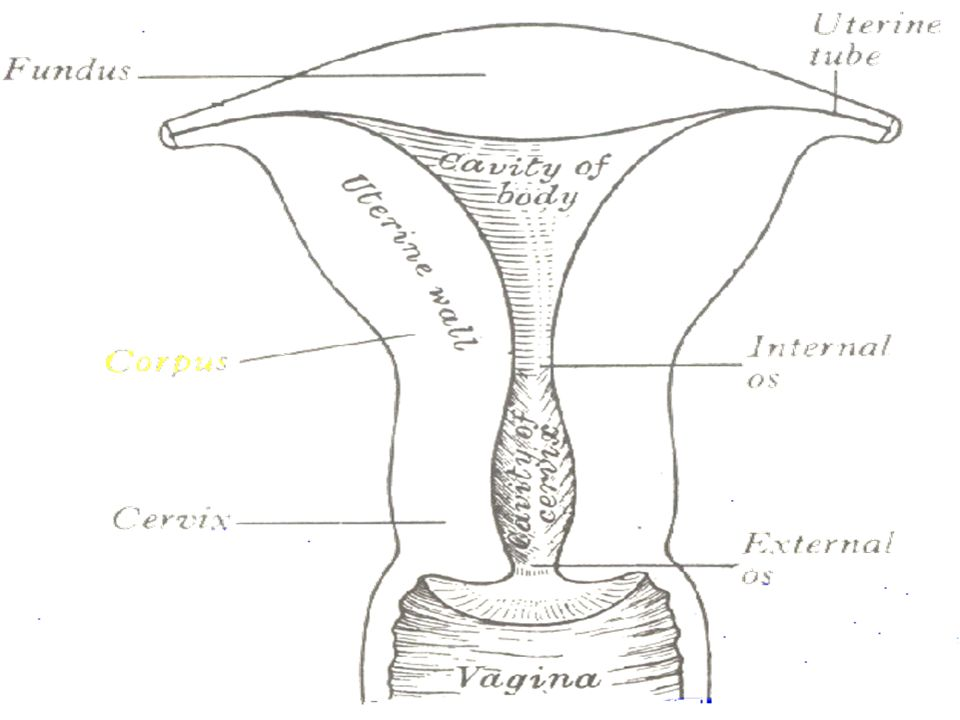What is the menstrual cycle.