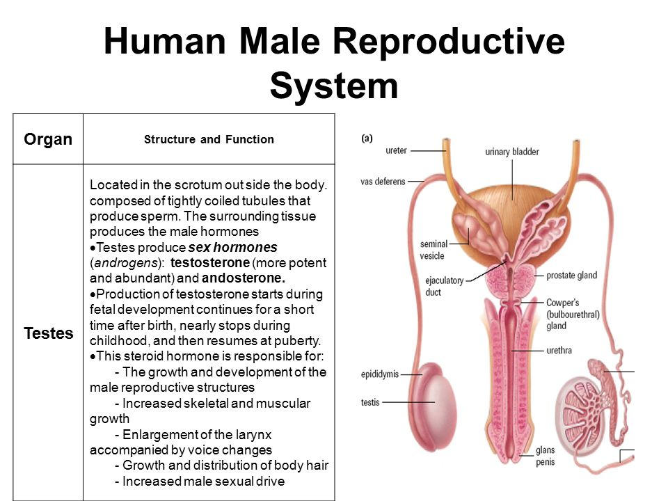 Human Male Reproductive System Organ Structure and Function Testes Located in the scrotum out side the body. composed of tightly coiled tubules that p