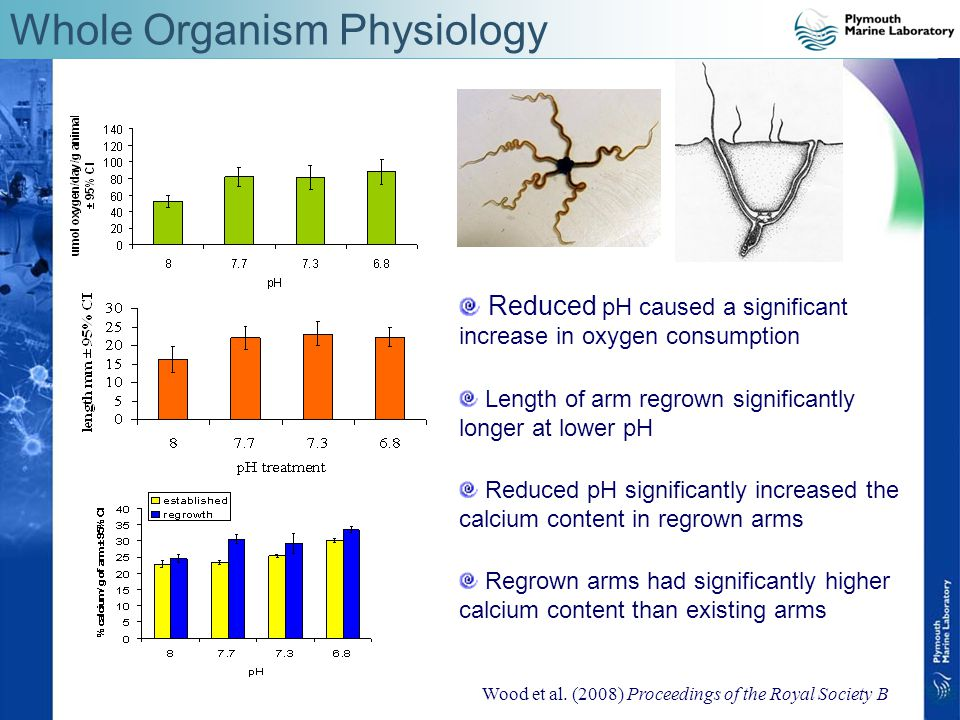 Whole Organism Physiology Reduced pH caused a significant increase in oxygen consumption Length of arm regrown significantly longer at lower pH Reduced pH significantly increased the calcium content in regrown arms Regrown arms had significantly higher calcium content than existing arms Wood et al.