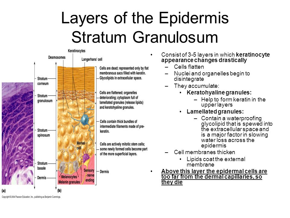 Layers of the Epidermis Stratum Granulosum Consist of 3-5 layers in which keratinocyte appearance changes drastically –Cells flatten –Nuclei and organelles begin to disintegrate –They accumulate: Keratohyaline granules: –Help to form keratin in the upper layers Lamellated granules: –Contain a waterproofing glycolipid that is spewed into the extracellular space and is a major factor in slowing water loss across the epidermis –Cell membranes thicken Lipids coat the external membrane Above this layer the epidermal cells are too far from the dermal capillaries, so they die