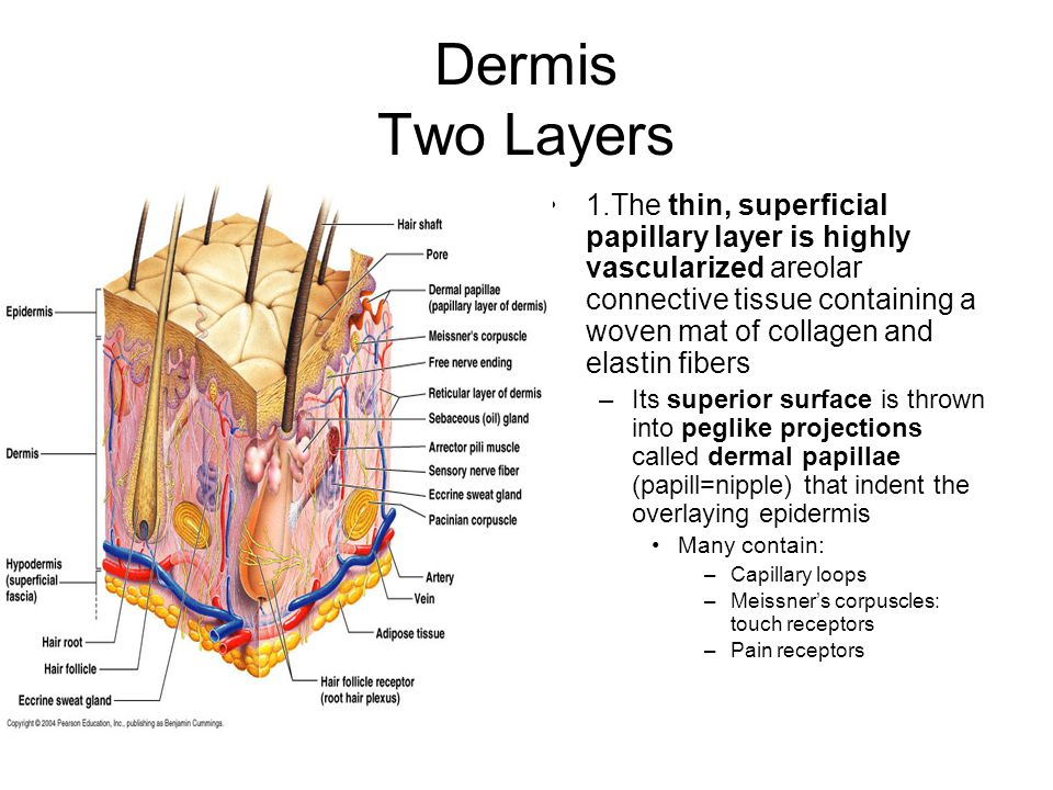 Dermis Two Layers 1.The thin, superficial papillary layer is highly vascularized areolar connective tissue containing a woven mat of collagen and elastin fibers –Its superior surface is thrown into peglike projections called dermal papillae (papill=nipple) that indent the overlaying epidermis Many contain: –Capillary loops –Meissner's corpuscles: touch receptors –Pain receptors