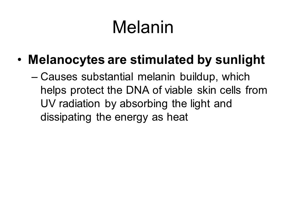 Melanin Melanocytes are stimulated by sunlight –Causes substantial melanin buildup, which helps protect the DNA of viable skin cells from UV radiation by absorbing the light and dissipating the energy as heat