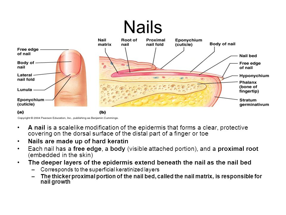 Nails A nail is a scalelike modification of the epidermis that forms a clear, protective covering on the dorsal surface of the distal part of a finger or toe Nails are made up of hard keratin Each nail has a free edge, a body (visible attached portion), and a proximal root (embedded in the skin) The deeper layers of the epidermis extend beneath the nail as the nail bed –Corresponds to the superficial keratinized layers –The thicker proximal portion of the nail bed, called the nail matrix, is responsible for nail growth