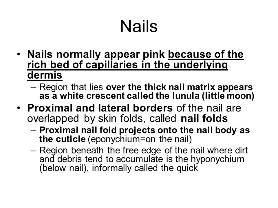 Nails Nails normally appear pink because of the rich bed of capillaries in the underlying dermis –Region that lies over the thick nail matrix appears as a white crescent called the lunula (little moon) Proximal and lateral borders of the nail are overlapped by skin folds, called nail folds –Proximal nail fold projects onto the nail body as the cuticle (eponychium=on the nail) –Region beneath the free edge of the nail where dirt and debris tend to accumulate is the hyponychium (below nail), informally called the quick