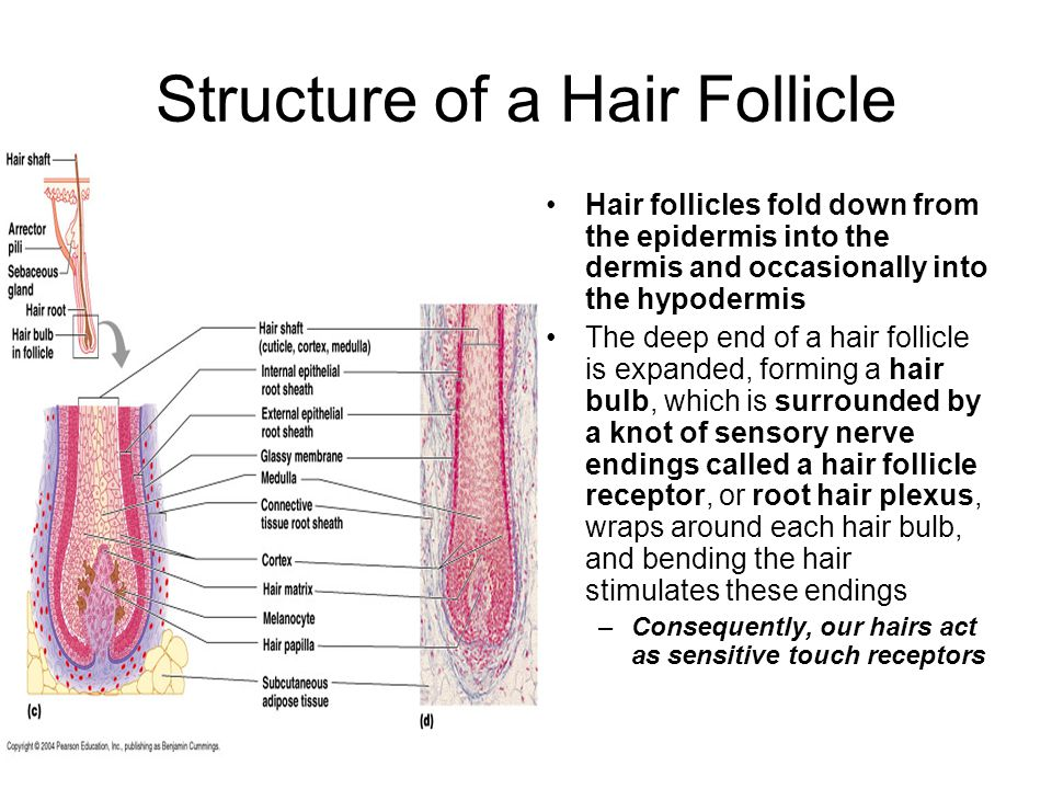 Structure of a Hair Follicle Hair follicles fold down from the epidermis into the dermis and occasionally into the hypodermis The deep end of a hair follicle is expanded, forming a hair bulb, which is surrounded by a knot of sensory nerve endings called a hair follicle receptor, or root hair plexus, wraps around each hair bulb, and bending the hair stimulates these endings –Consequently, our hairs act as sensitive touch receptors