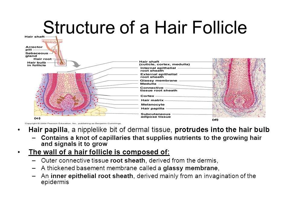 Structure of a Hair Follicle Hair papilla, a nipplelike bit of dermal tissue, protrudes into the hair bulb –Contains a knot of capillaries that supplies nutrients to the growing hair and signals it to grow The wall of a hair follicle is composed of: –Outer connective tissue root sheath, derived from the dermis, –A thickened basement membrane called a glassy membrane, –An inner epithelial root sheath, derived mainly from an invagination of the epidermis