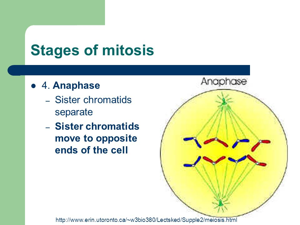 Stages of mitosis 4. Anaphase – Sister chromatids separate – Sister chromatids move to opposite ends of the cell http://www.erin.utoronto.ca/~w3bio380
