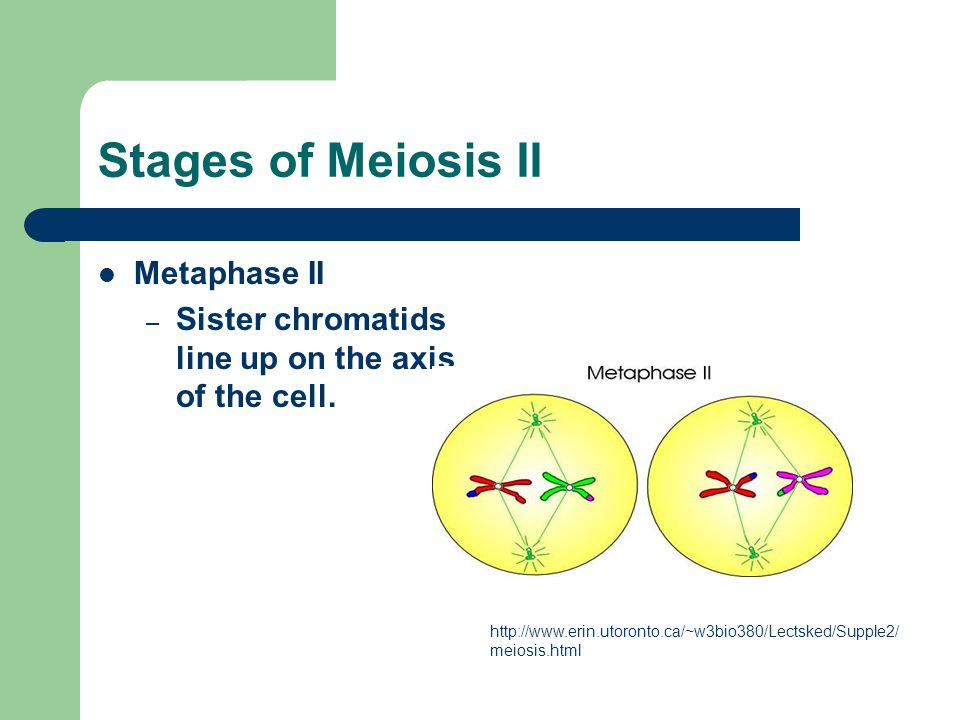 Stages of Meiosis II Metaphase II – Sister chromatids line up on the axis of the cell. http://www.erin.utoronto.ca/~w3bio380/Lectsked/Supple2/ meiosis