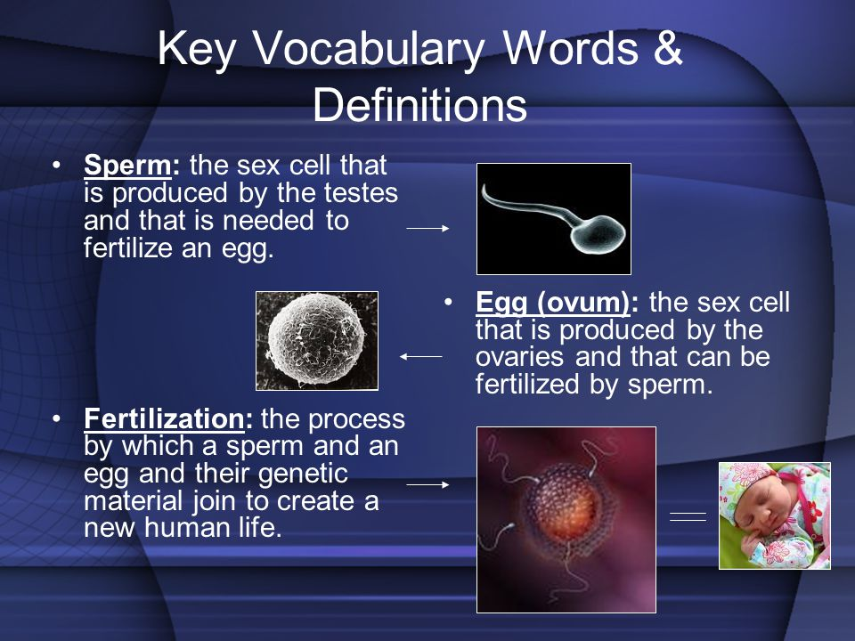 Key Vocabulary Words & Definitions Sperm: the sex cell that is produced by the testes and that is needed to fertilize an egg. Fertilization: the proce