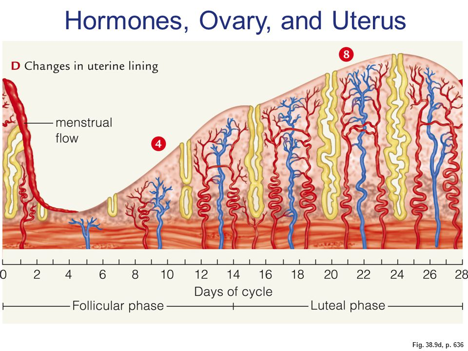 Fig. 38.9d, p. 636 Hormones, Ovary, and Uterus