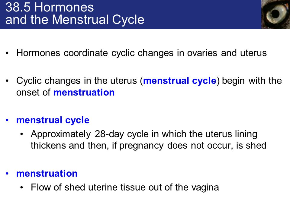 38.5 Hormones and the Menstrual Cycle Hormones coordinate cyclic changes in ovaries and uterus Cyclic changes in the uterus (menstrual cycle) begin with the onset of menstruation menstrual cycle Approximately 28-day cycle in which the uterus lining thickens and then, if pregnancy does not occur, is shed menstruation Flow of shed uterine tissue out of the vagina